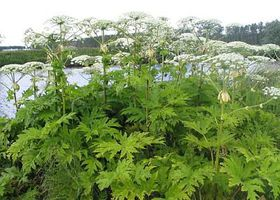 Giant hogweed, photo: GerardM, Creative Commons 3.0