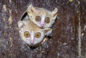Ganzhorn's mouse lemur, photo: Petr Hamerník / Prague Zoo