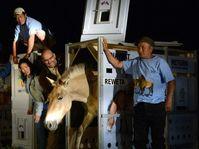 Лошадь Пржевальского, Фото: ЧТК