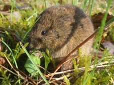 Vole, photo: Dieter TD, CC BY-SA 3.0