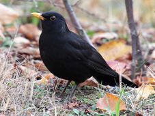 Blackbird, photo: Bernd Marczak, Pixabay / CC0