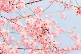 Světle růžová, foto: CC0