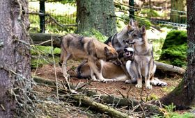 The Šumava National Park has an observation site for wolves, photo: Jiří Čondl, Czech Radio
