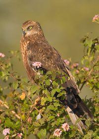 Marsh Harrier, photo: Subramanya CK, Creative Commons 3.0