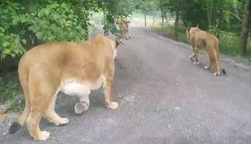 Lion safari in Dvůr Králové, photo: YouTube