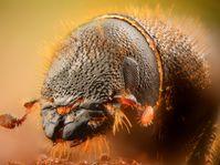Borkenkäfer - kůrovec (Foto: Gilles San Martin, Flickr, CC BY-SA 2.0)