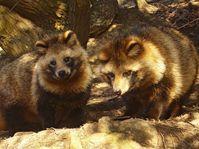 Raccoon dog, photo: 663highland, CC BY 2.5