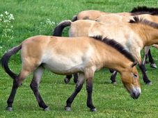 Przewalski-Pferd (Foto: Jan Vašíček, Archiv des Prager Zoos)