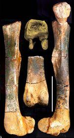 Huesos del dinosaurio 'checo'