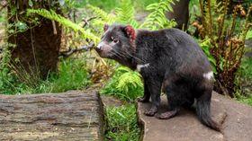 Beutelteufel (Foto: Jaroslav Šimek, Archiv des Prager Zoos)