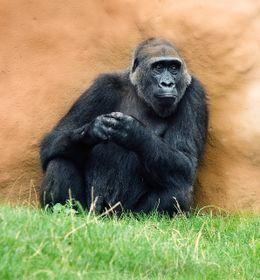 La gorila Kamba, foto: ČTK