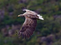 Sea eagle, photo: Yathin S Krishnappa, CC BY-SA 3.0
