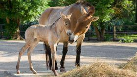 Przewalski-Pferd (Foto: Petr Hamerník, Archiv des Prager Zoos)