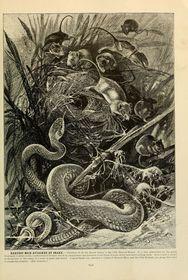 Rytina vBrehmově Životě zvířat, foto: BioDivLibrary via Foter.com / CC BY