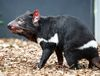 Tasmanian devil, photo: Miroslav Bobek / Prague Zoo