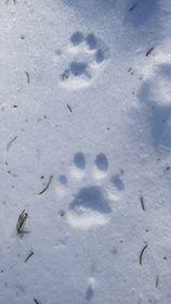 Vlčí hlídky sledují irysí stopy, foto: Luděk Brhel