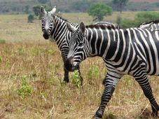Maneless zebra, photo: Mark Jordahl, Flickr, CC BY 2.0