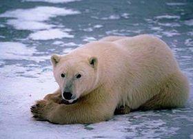 Lední medvěd - Eisbär