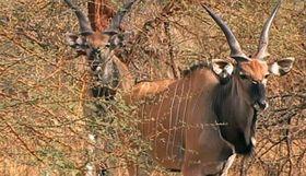Los antílopes eland de Derby, foto: ČT24