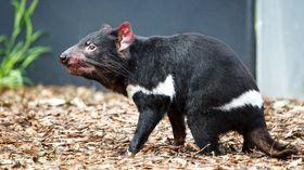 Сумчатый дьявол, фото: Mирослав Бобек, Zoo Praha