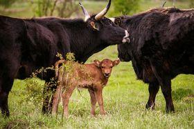 Auerochsenähnliche Tauros-Rinder (Foto: Michal Köpping / European Wildlife / Česká krajina)
