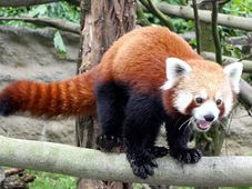 Малая панда из йиглавского зоопарка (Фото: архив зоопарка)