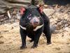 Beutelteufel (Foto: Archiv des Prager Zoos)