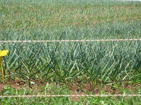 Pěstování česneku, foto: server Český domácí česnek