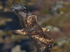 Golden Eagle, photo: Juan Lacruz, CC BY-SA 3.0