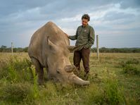 Jan Stejskal checks on Fatu, the youngest of the two northern white rhinos on the planet the day before the procedure on Ol Pejeta Conservancy, photo: Ami Vitale
