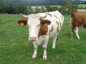Kráva, foto: Miloš Turek