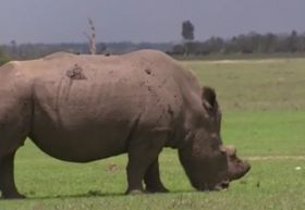 Sudan - the last Northern White Rhino male, photo: Czech Television