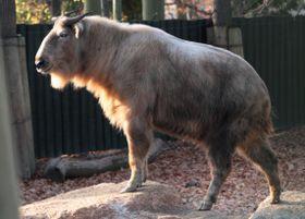Китайский такин, Фото: официальный сайт Либерецкого зоопарка