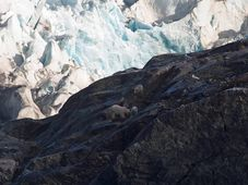Ours blancs observés à Svalbard, photo: Centre for polar ecology