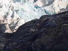 Ours blancs observés à Svalbard, photo: Centre for polar ecology