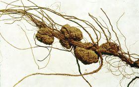 Pflanzengallen werden von Agrobacterium tumefaciens-Bakterien verursacht. Diese produzieren und setzen Auxin und Cytokinin frei, die die normale Zellteilung an der Infektionsstelle stören und zu Wucherungen führen (Foto: www.forestryimages.org)