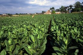 Табачная плантация на Кубе (Фото: Kotoviski, CC BY-SA 3.0)