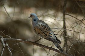 European turtle dove, photo: David King, CC BY 2.0