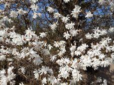 Rozkvetlá magnólie, foto: Klára Stejskalová