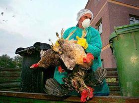 Rumunští veterináři vybíjejí domácí drůbež vobci Ceamurlia de Jos, foto: ČTK