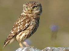 Little Owl, photo: Trebol-a, CC BY-SA 3.0