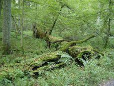 Первобытный лес в Беловежской пуще, фото: Ралф Лотыс CC BY 3.0
