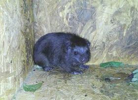 Mládě damana pralesního, foto: Jana Čížková, archiv Zoo Ostrava
