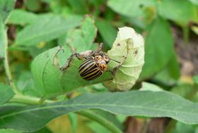 Mandelinka bramborová, foto: Barbarossa, CC BY 3.0 Unported