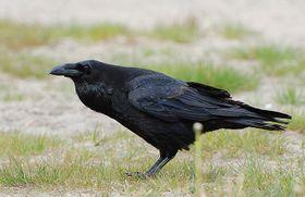 Raven, photo: Accipiter, CC BY 3.0 Unported