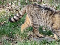 Wildcat, photo: Schorle, CC BY-SA 3.0