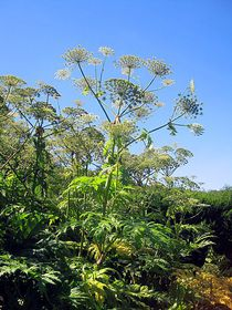 Giant hogweed, photo: Marie-Claire, Creative Commons 3.0