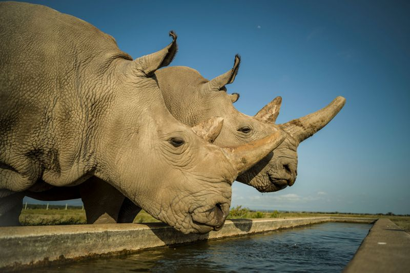Najin and Fatu are the last two northern white rhinos on the planet, photo: Ami Vitale
