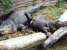 Alligators Libor and Eliska, photo: www.zoousti.cz