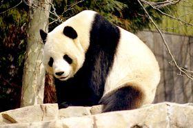 Panda, foto: Jeff Kubina